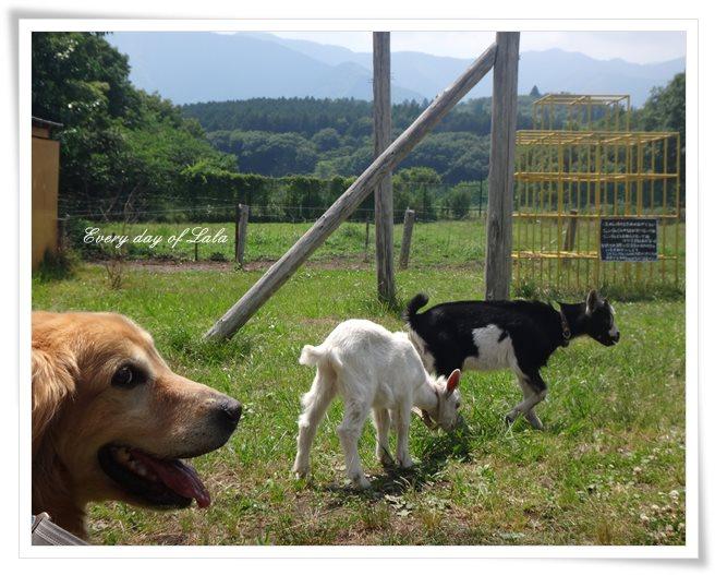 子ヤギの放牧