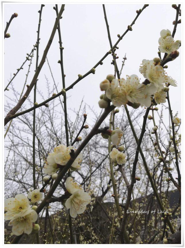 院内の梅の花
