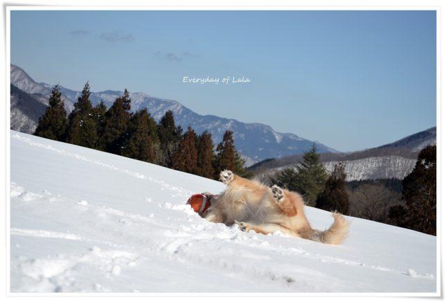 雪山でボールを咥えながらゴロスリするララ