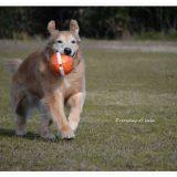 うさぎ顔のララはボールを咥えて走る