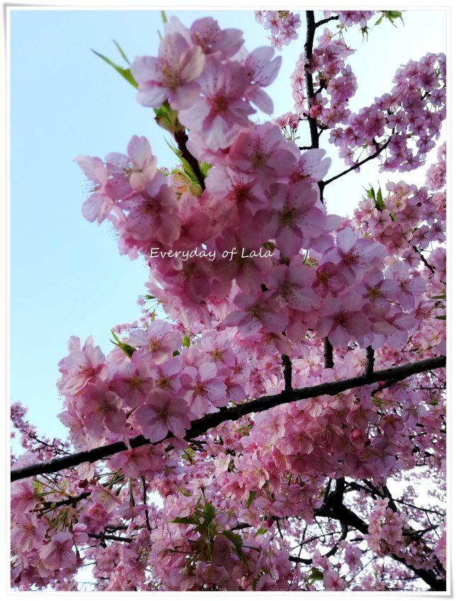 桜が満開になっていました
