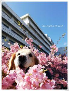 桜から顔出すララ