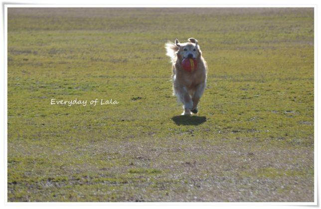 楽しそうにボール散歩する