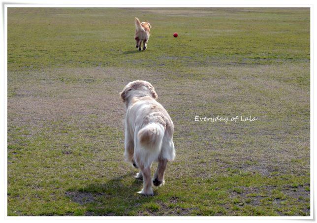 ボールを追いかけるララとララを追いかけるぎんちゃん