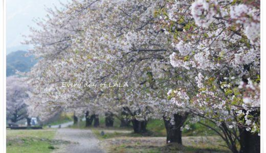 『粕川オートキャンプ場』へお花見散歩して来ました。桜は散りはじめでしたが桜吹雪がとってもキレイです!