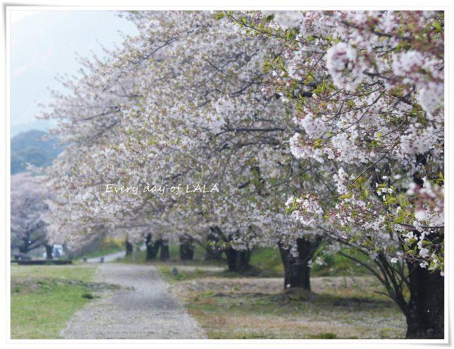 桜はちりはじめ