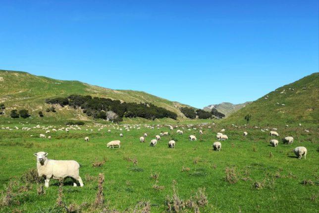 ニュージランド 羊 放牧