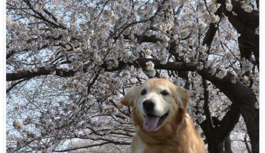 墨俣一夜城の桜並木をお花見散策してきました!