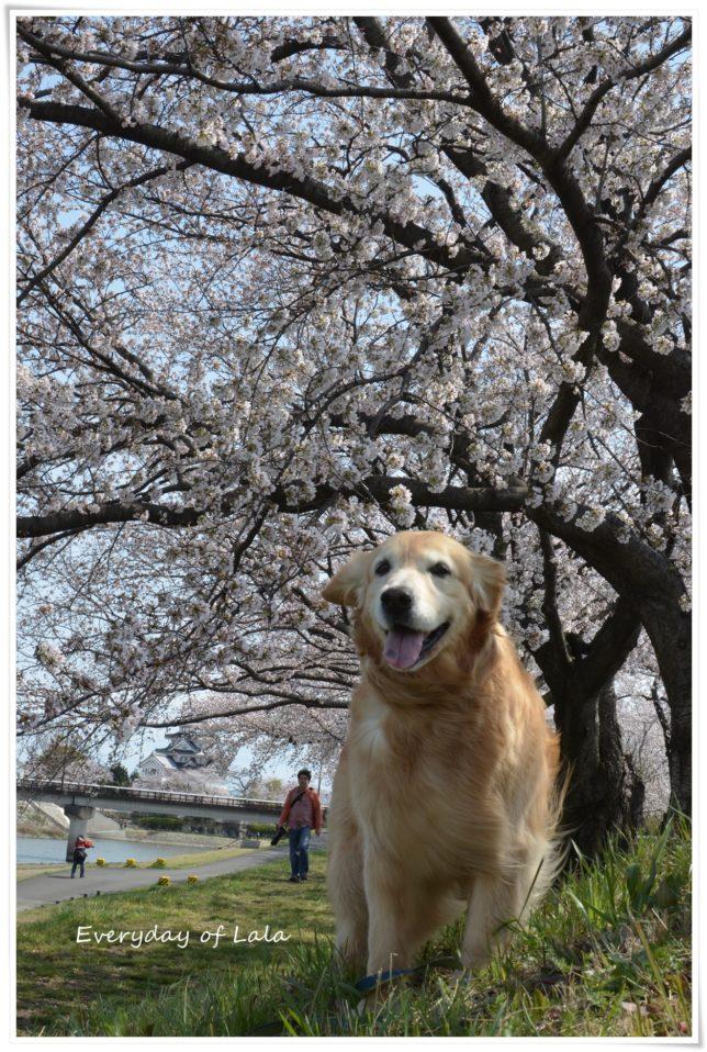 桜が満開になていたので散策にきました