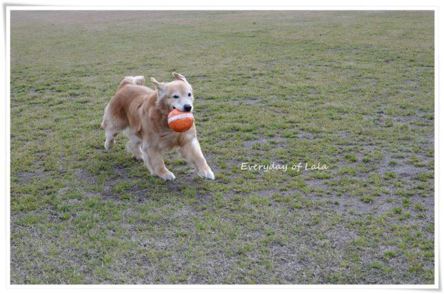 強風の中ボールをくわえて思いっきり走ってる